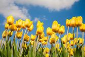 Yellow tulip field in the Netherland — Stock Photo