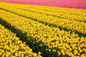 Field of yellow and pink tulips — Stock Photo