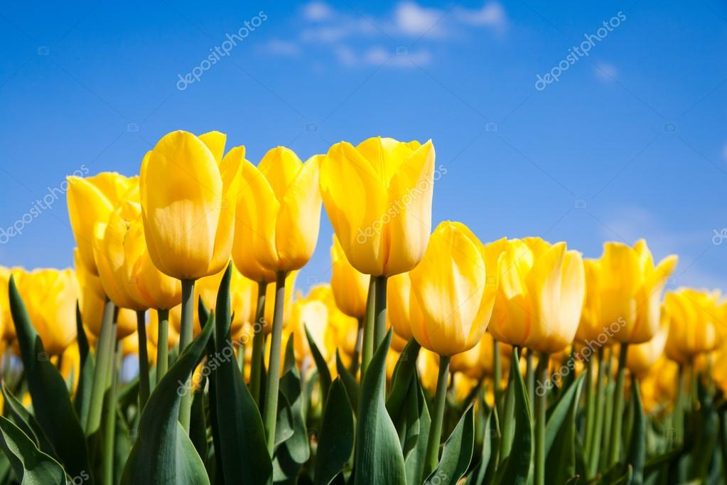 Field Of Yellow Tulips In The Netherland