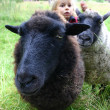 Sheep in meadow — Stockfoto