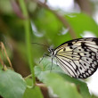 Tree nymph butterfly — Stock Photo