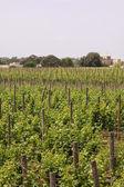 Vineyard in Malta — Stock Photo