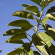 Ficus plant — Stock Photo