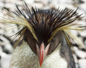 Rockhopper penguin — Foto de Stock