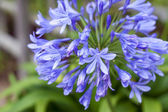 African lily — Stock Photo