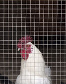 Caged hen — Stock Photo