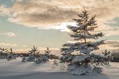 Fir-treе at Winter sunset — Stock Photo