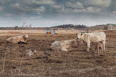 Cows on Overcast Day — Stock Photo