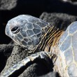 Stock Photo: HawaiiGreenback SeTurtle