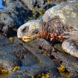 HawaiiGreenback SeTurtle — Stock Photo #27035415