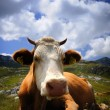 Cow resting on green grass — Stock Photo #28176167