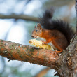 Red squirrel — Stock Photo #19094959