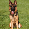 Front view of German Shepherd sitting in grass — Stock Photo #19217241