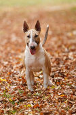 English bull terrier standing in colorful autumn leaves — Stock Photo