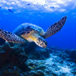 Stock Photo: Green Seaturtle swimming over reef
