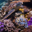 Sea Turtle sitting on a colorful coral reef — Stock Photo