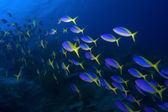 School of Yellowback fusiliers swimming in blue water — Stock Photo