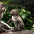 Description:Monkey family with one adult and one baby (Macaca fascicularis) near Pura Dalem Agung Padangtegal temple in Sacred Monkey Forest in Ubud Bali Indonesia. — Stock Photo #19261693