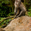 Old monkey (Macaca fascicularis) near Pura Dalem Agung — Stock Photo