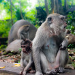 Description:Monkey family with one adult and one baby (Macaca fascicularis) near Pura Dalem Agung Padangtegal temple in Sacred Monkey Forest in Ubud Bali Indonesia. — Stock Photo #19261699