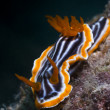 Nudibranch Commodoris crawling very slowly on a rock — Stock Photo