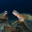 Постер, плакат: Green Seaturtles on the reef at Barracuda Point on Sipadan on October 7 2006