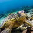 Green Sea turtle looking at viewer in Sipadan Island, Sabah, Malaysia — Stock Photo