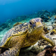 Stock Photo: Green Seturtle looking at viewer in SipadIsland, Sabah, Malaysia