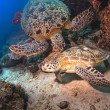Two Green Sea turtles fighting in Sipadan Island, Sabah, Malaysia - Stock Photo