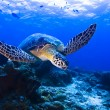 Green Seaturtle swimming over reef in Pulau Sipadan, Sabah, Malaysia. Sipadis located of eastcoast of Sabah in MalaysiBorneo. — Stock Photo #19261883