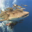 KOH TAO, THAILAND - MAY 18: A Whaleshark followed by un-indentified scuba divers near the island of Koh Tao on May 18, 2009. — Stock Photo