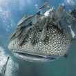 Stock Photo: KOH TAO, THAILAND - MAY 18: Whaleshark followed by un-indentified scubdivers near island of Koh Tao on May 18, 2009. Koh Tao in Gulf of Thailand is popular destination for new divers.