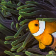 Stock Photo: Wester Clown fish in seanemone on coral reef in Thailand
