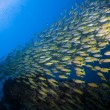School of yellow Fusiliers swimming over a coral reef in the Similan Islands near Khao Lak in Thailand's Andaman Sea. - Stock Photo