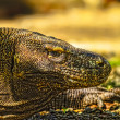 Komodo dragon (Varanus komodoensis) in Komodo National Park, Indonesia. The Komodo dragons are the largest lizards in the world. Close up view of a komodo dragon with forked tongue. — Stock Photo