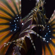 Stock Photo: Closeup of poisonous Lionfish in SimilIslands during liveboard scubdiving trip in AndamSea, Thailand.