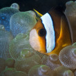 Clown fish swimming in green soft coral on the reef underwater in Bali, Indonesia — Stock Photo