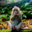 Monkey (Macaca fascicularis) near Pura Dalem Agung Padangtegal temple in Sacred Monkey Forest in Ubud Bali Indonesia. — Stock Photo