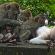 Monkey family with two adults and one baby (Macaca fascicularis) near Pura Dalem Agung Padangtegal temple in Sacred Monkey Forest in Ubud Bali Indonesia. — Stock Photo #19262297