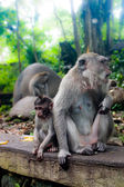Description:Monkey family with one adult and one baby (Macaca fascicularis) near Pura Dalem Agung Padangtegal temple in Sacred Monkey Forest in Ubud Bali Indonesia. — Stock Photo