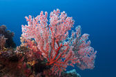 Red fan coral glowing on the reef with blue water background — Stock Photo