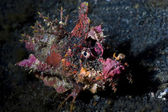 Devil Scorpionfish underwater at night in Lembeh Strait, Sulawesi, Indonesia — Stock Photo