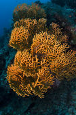 Orange soft coral on the reef in Sipadan island, Sabah, Malaysia — Stock Photo