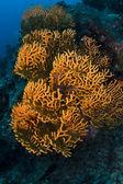 Orange soft coral on the reef in Sipadan island, Sabah, Malaysia — Stock Photo