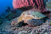 Green Sea turtle resting under red Barrel Sponge in Sipadan Island, Sabah, Malaysia — Stock Photo