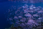 School of Big Eyed Jack swimming over a reef in Sipadan Island in Sabah, Malaysia — Stock Photo