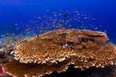 :School of orange Anthias swimming over a reef in Sipadan Island in Sabah, Malaysia — Stock Photo