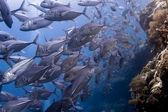 :School of orange Anthias swimming over a reef in Sipadan Island in Sabah, Malaysia — Stock Photo