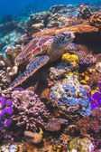 Green Sea turtle on colorful reef in Sipadan Island, Sabah, Malaysia — Stock Photo