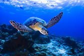Green Seaturtle swimming over the reef in Pulau Sipadan, Sabah, Malaysia. Sipadan is located of the eastcoast of Sabah in Malaysian Borneo. — Stock Photo